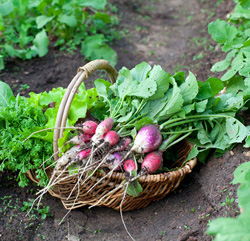 LT_radish_basket_field-small